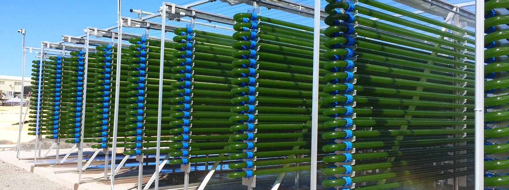 Microalgas podem tratar efluentes e gerar energia