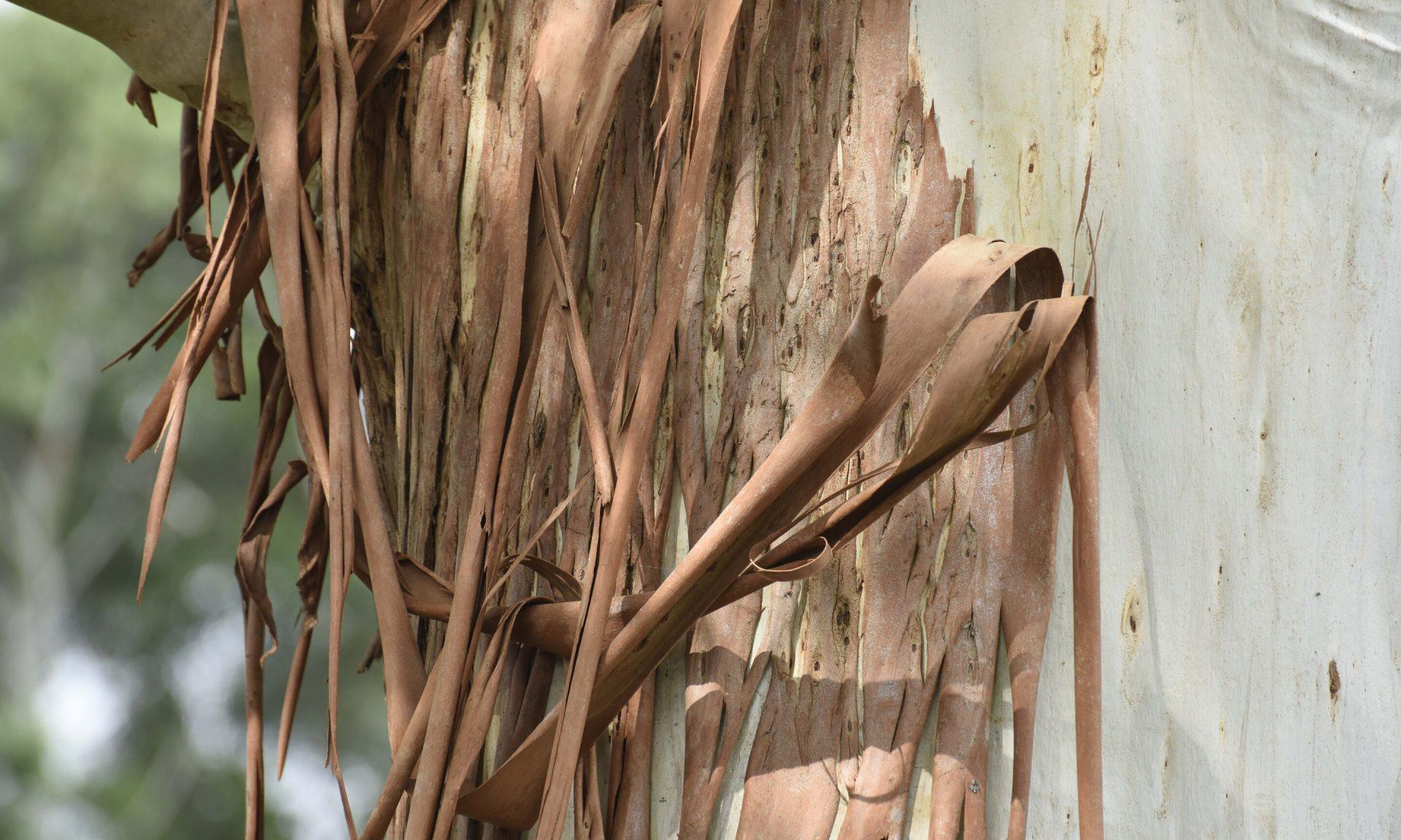 Entenda como funciona a produção de grafeno a partir de cascas de árvore
