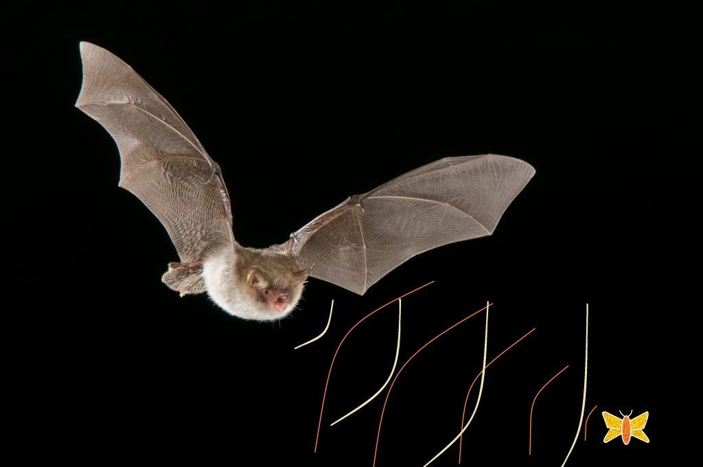 morcego emitindo sinal e recebendo retorno de ecolocalização de presa