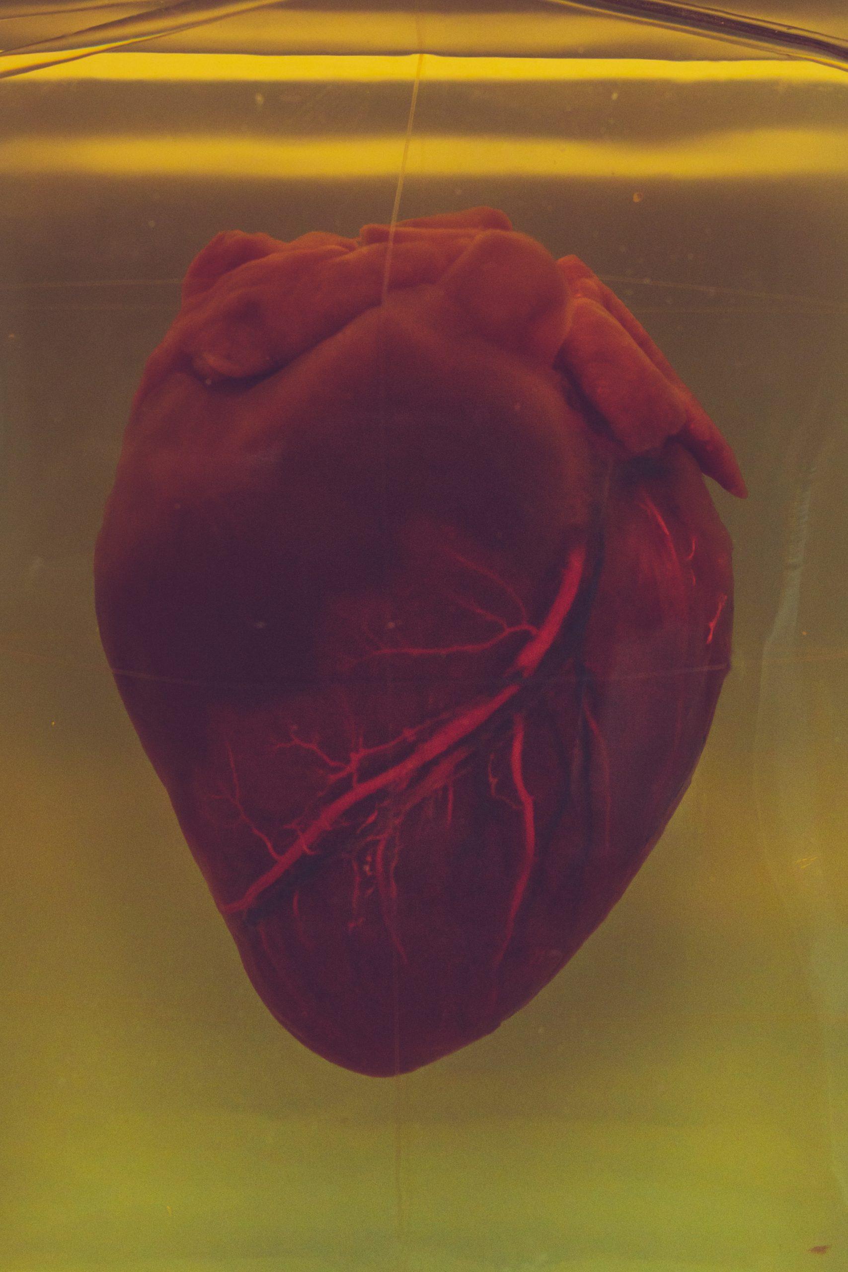 Cientistas criaram a primeira miniatura funcional de coração humano