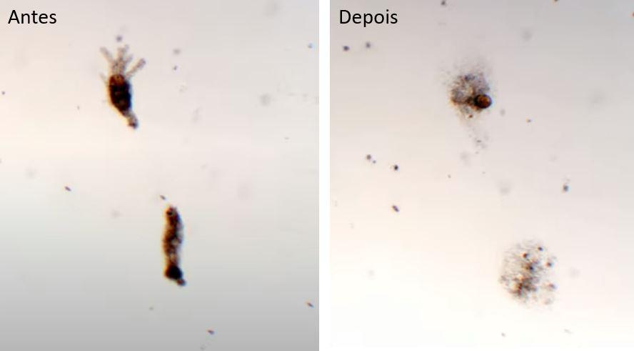 Efeito do cloro sobre microrganismos da espécie Amoeba proteus ao longo do tempo. Autor: Faraz Harsini, PhD. Fonte: youtube.com/channel/UC-o0T--lN7iPHc0oWaBYi7g