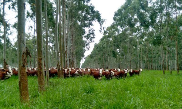 Rebanho de vacas ilustrando agroflorestas agrosilvipastoril