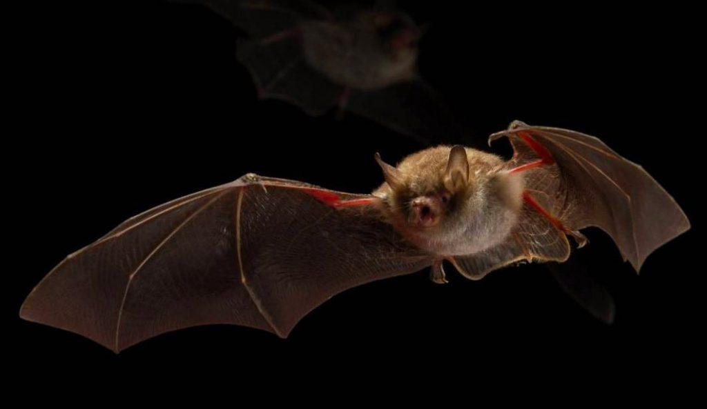 morcego em voo