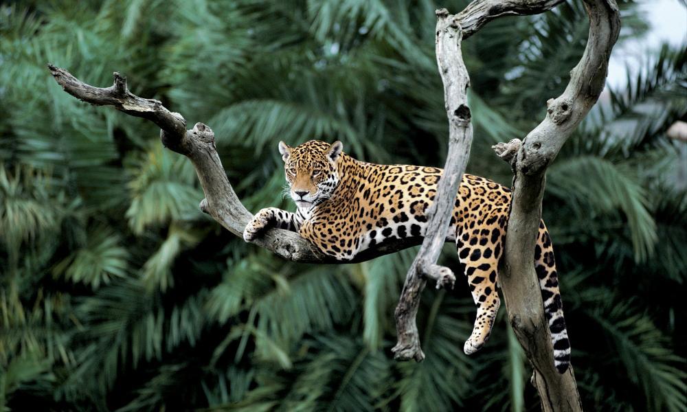 Jaguar sob uma árvore. Floresta amazônica, Brasil. Ilustra local onde seria implementado projeto de dados acústicos